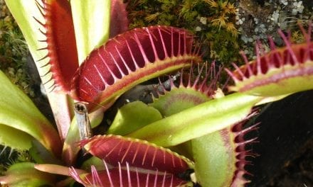 Venus Fly Trap Video