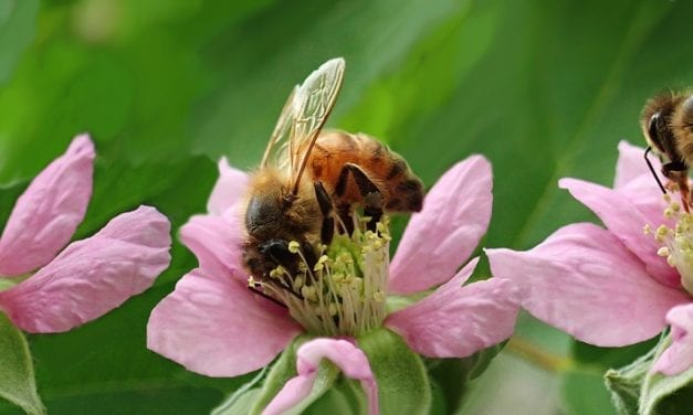 Why Are Our Bees Dying?