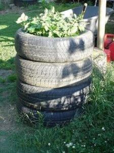 Planting potatoes in tyres