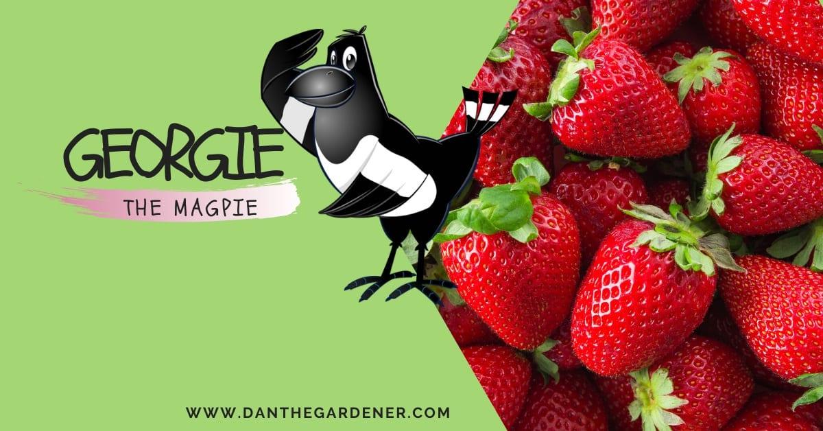 Georgie the Magpie