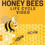Honey Bees life cycle video